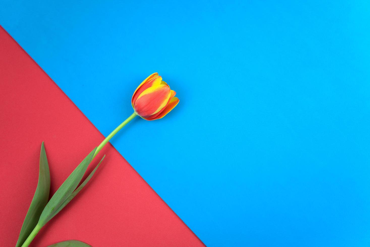 Rouge magenta, tulipe de couleur piment chaud plat poser sur vintage rouge et bleu clair couleurs parallèles texture abstraite fond de papier photo