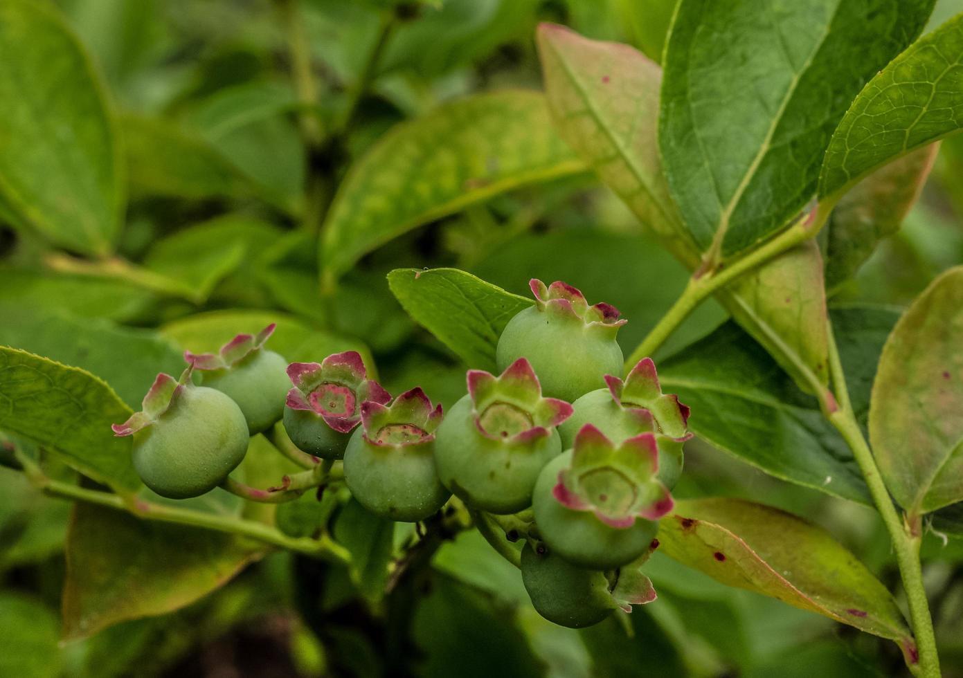 Groupe de bleuets verts sur une branche photo