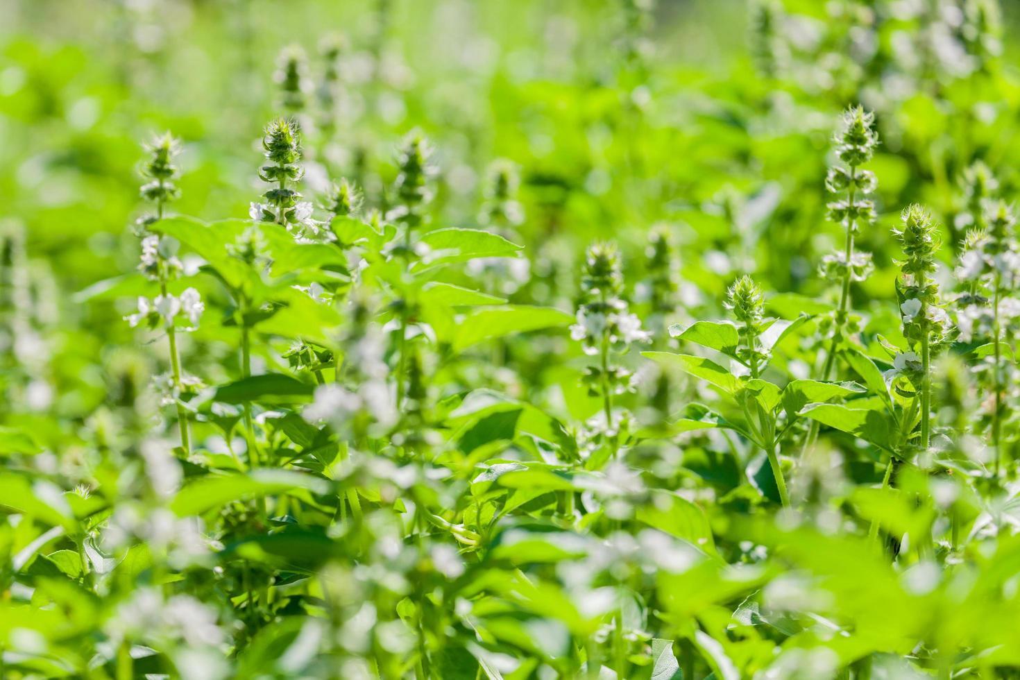 plantes de basilic à l'extérieur photo