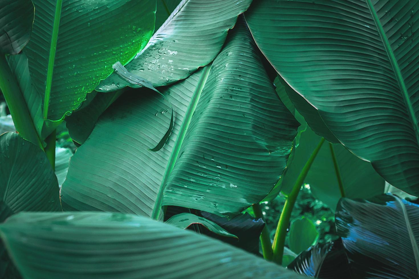 gros plan, de, feuille bananier, à, gouttes eau photo