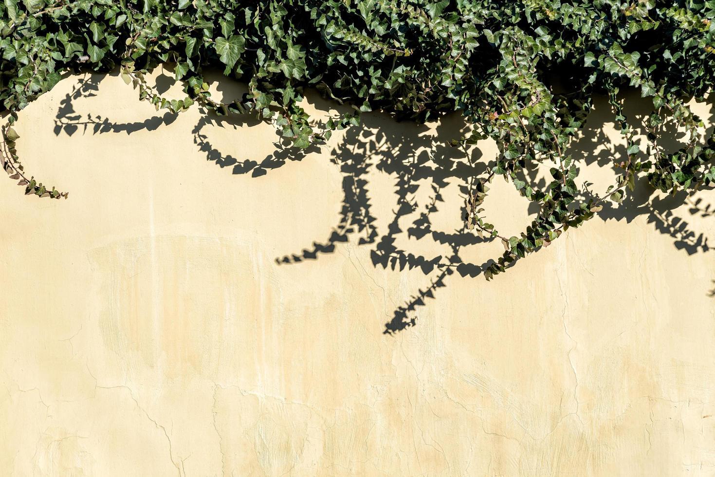 mur avec du lierre luxuriant photo