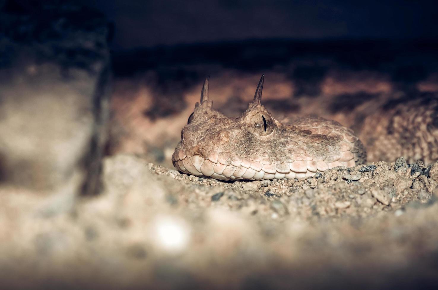 Portrait de serpent vipère à cornes photo