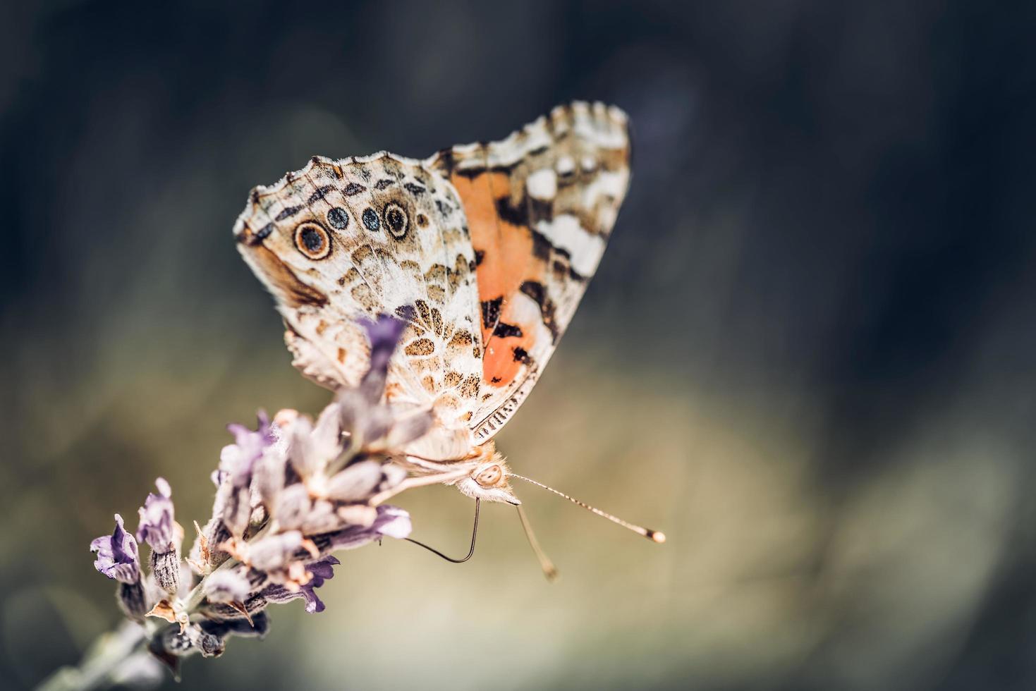 gros plan, de, papillon, sur, les, fleur lavande pourpre photo