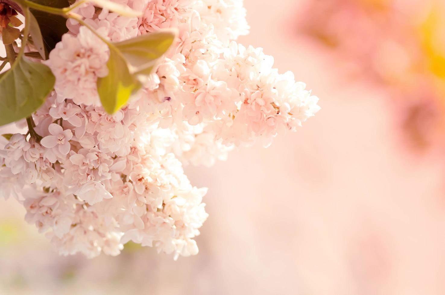 gros plan de belles fleurs lilas photo