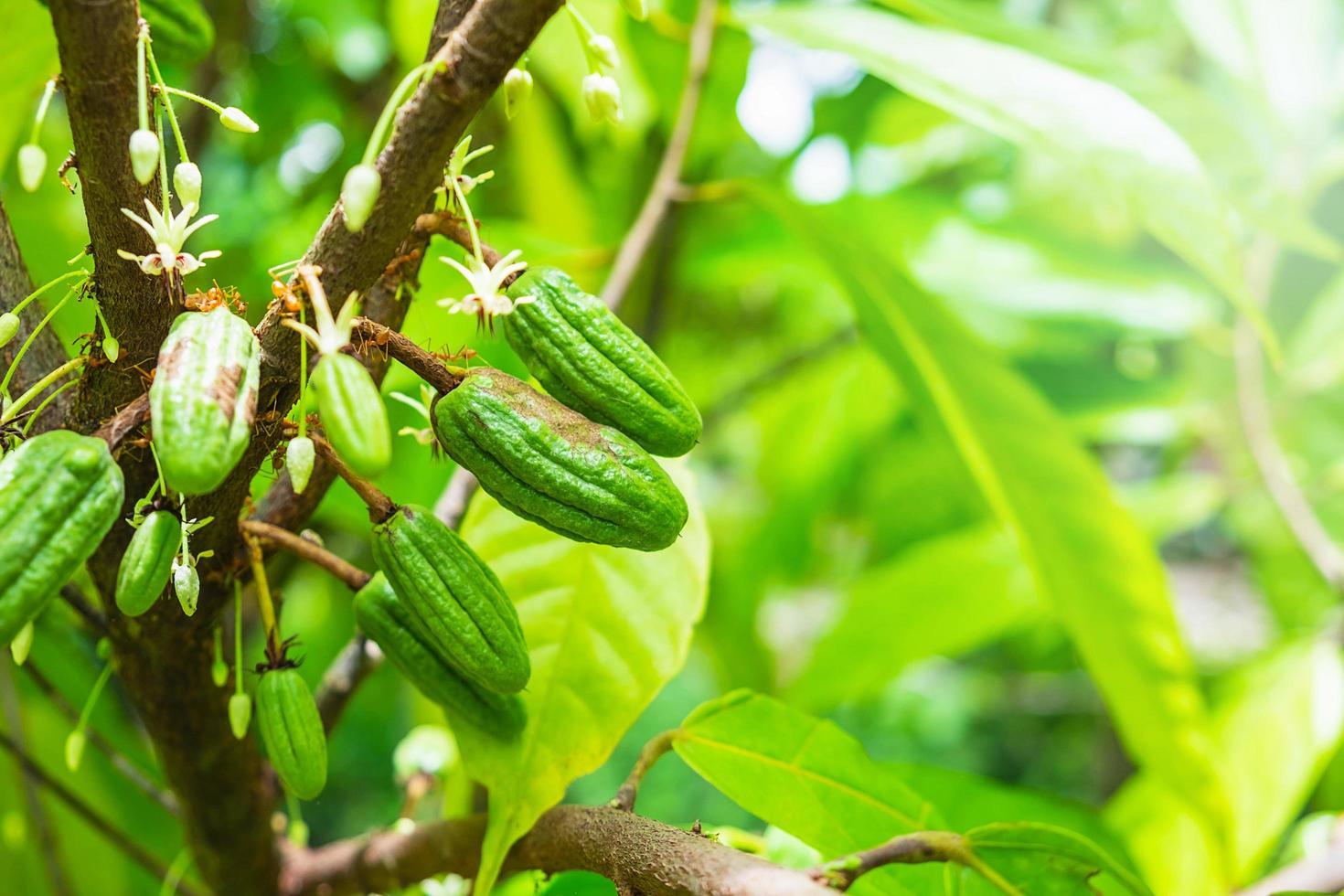 fruit de cacao sur une branche d & # 39; arbre photo
