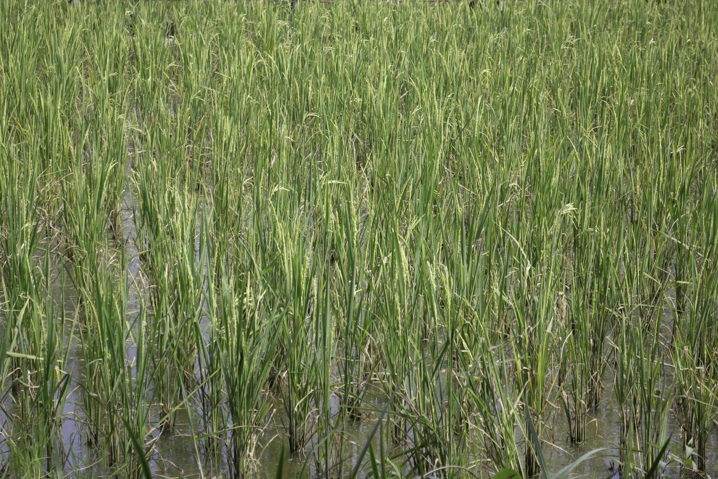 champ de riz vert photo