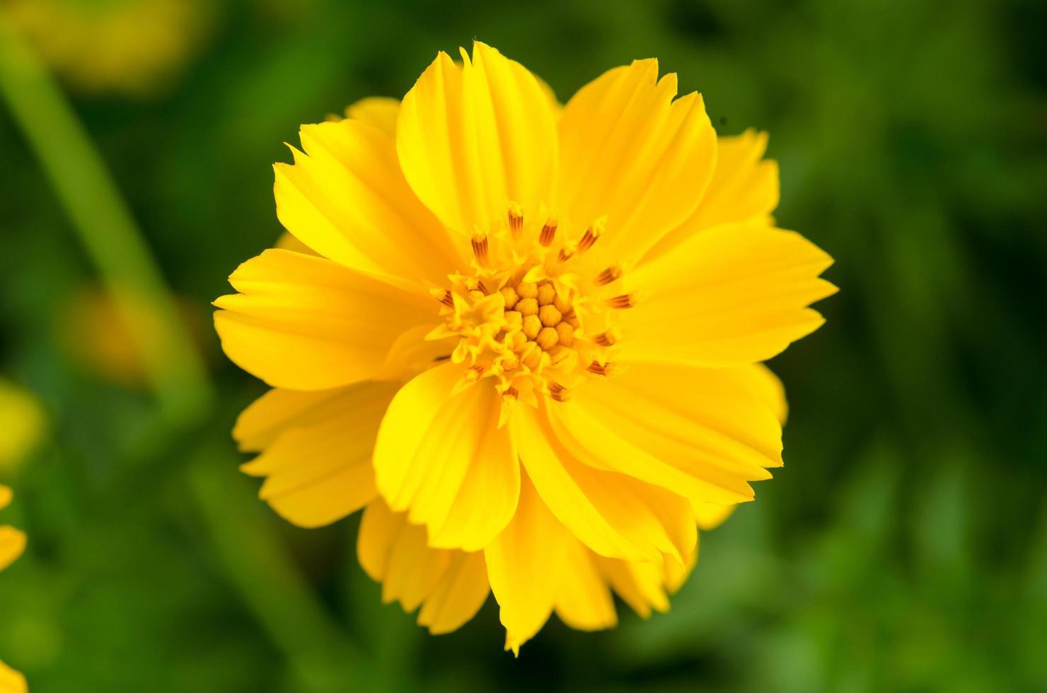 gros plan, de, a, fleur jaune photo