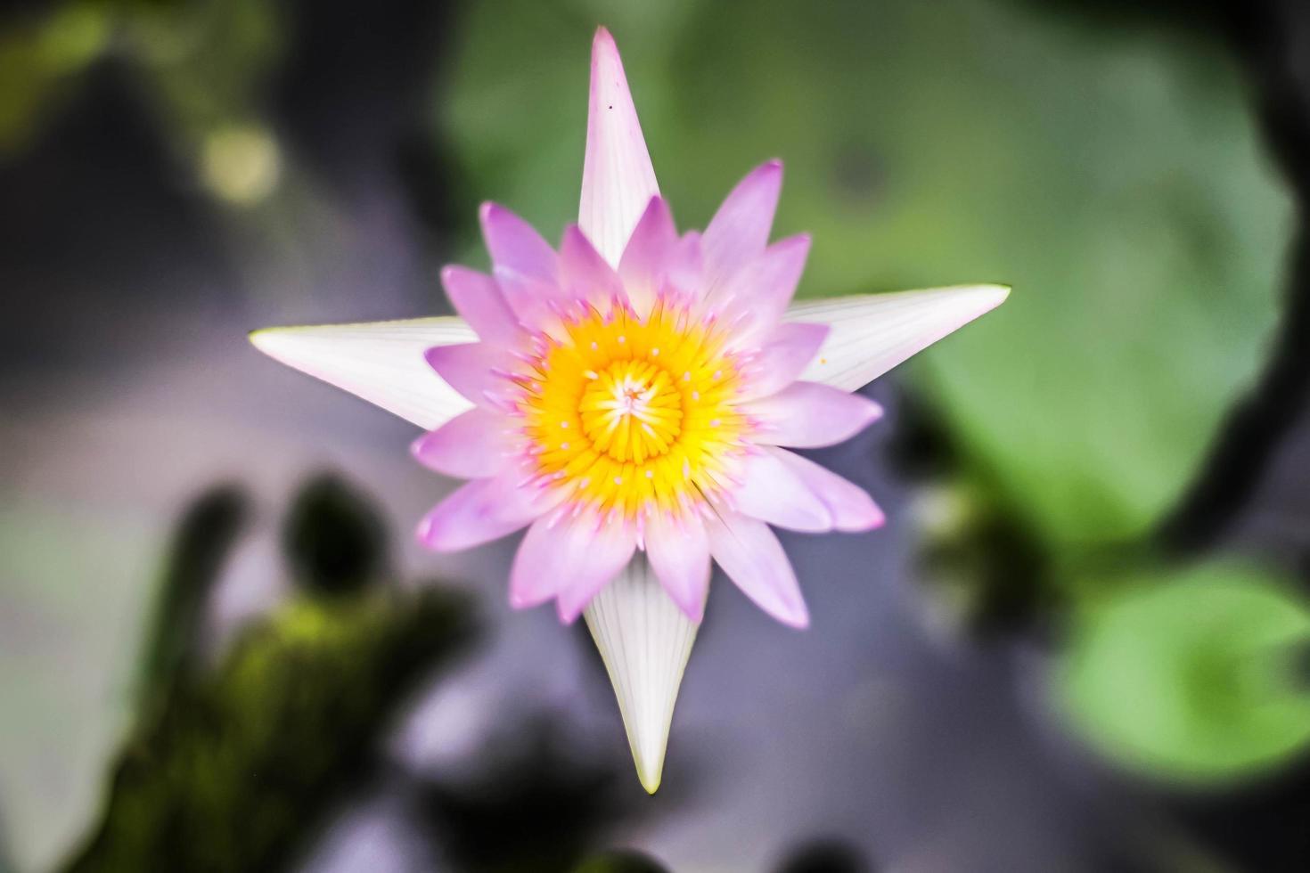 fleur de lotus pourpre avec pollen jaune photo