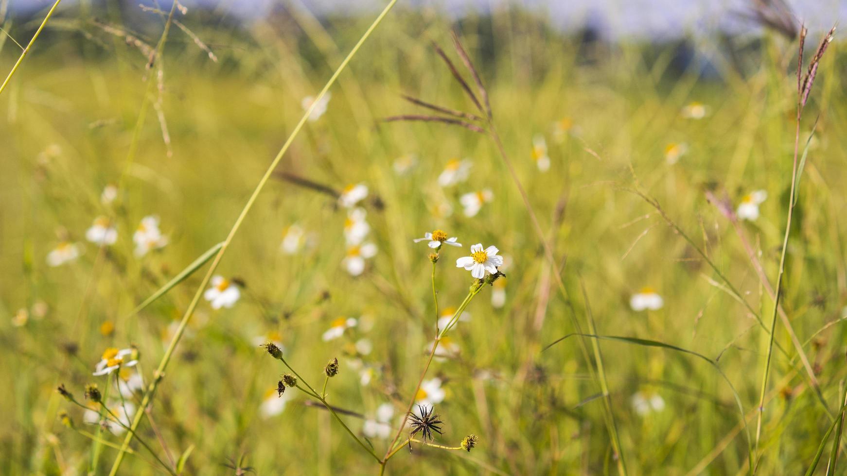 Gros plan d'herbe sauvage avec fond de champ jaune récolte photo