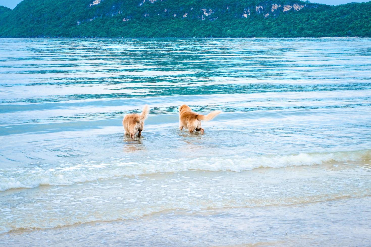 chiens golden retriever se détendre et jouer dans la mer photo