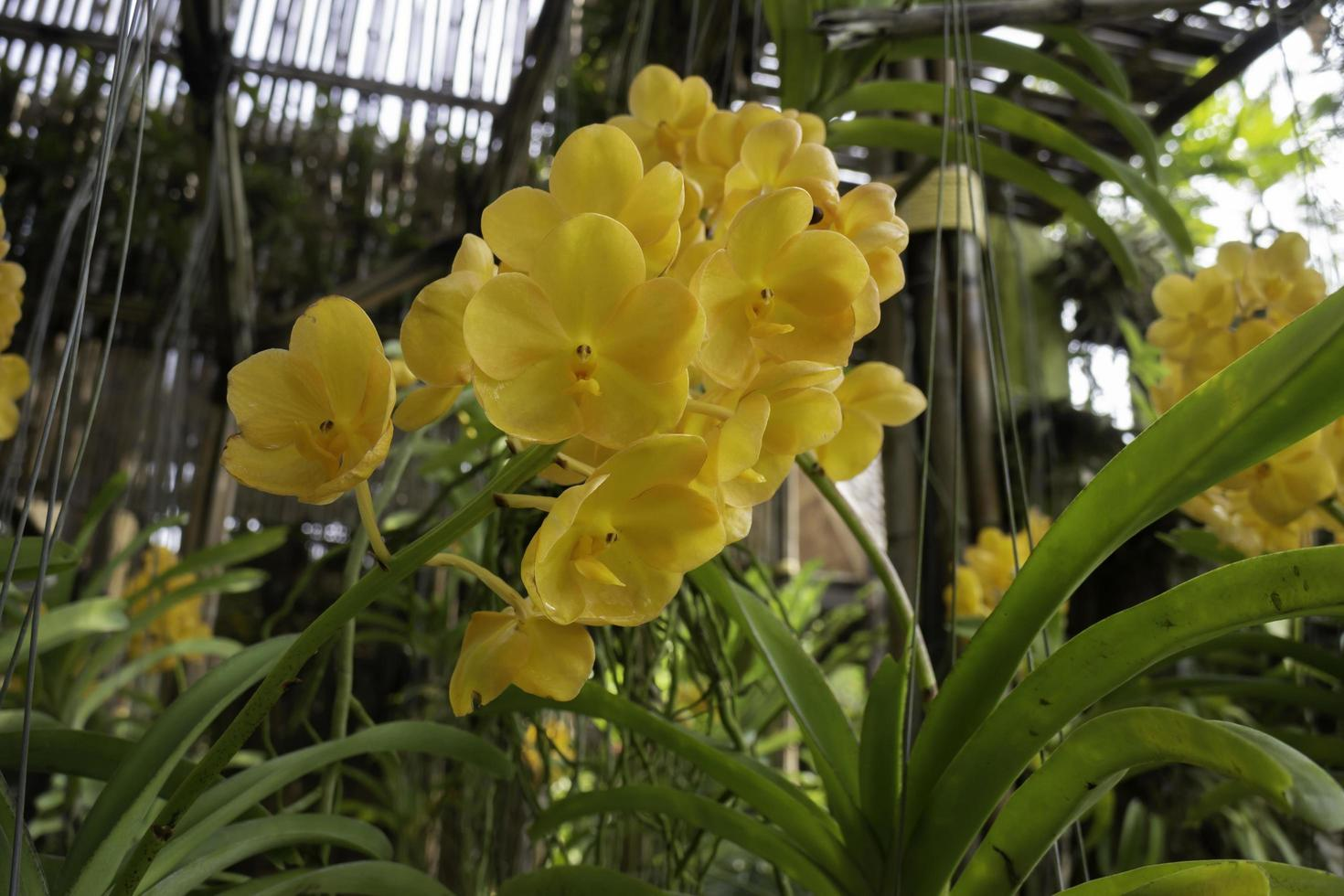 orchidées jaunes dans le jardin photo