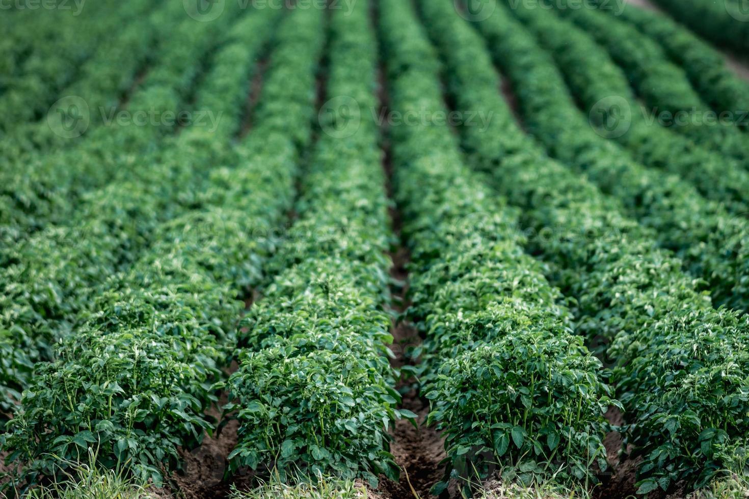 Grand champ de pommes de terre vertes avec des plantes en belles rangées photo