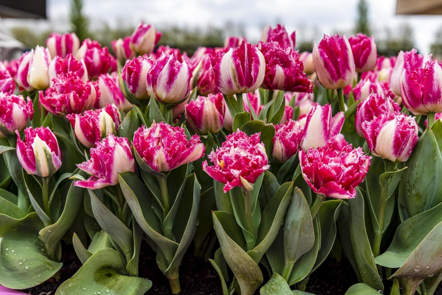 belles fleurs printanières roses photo