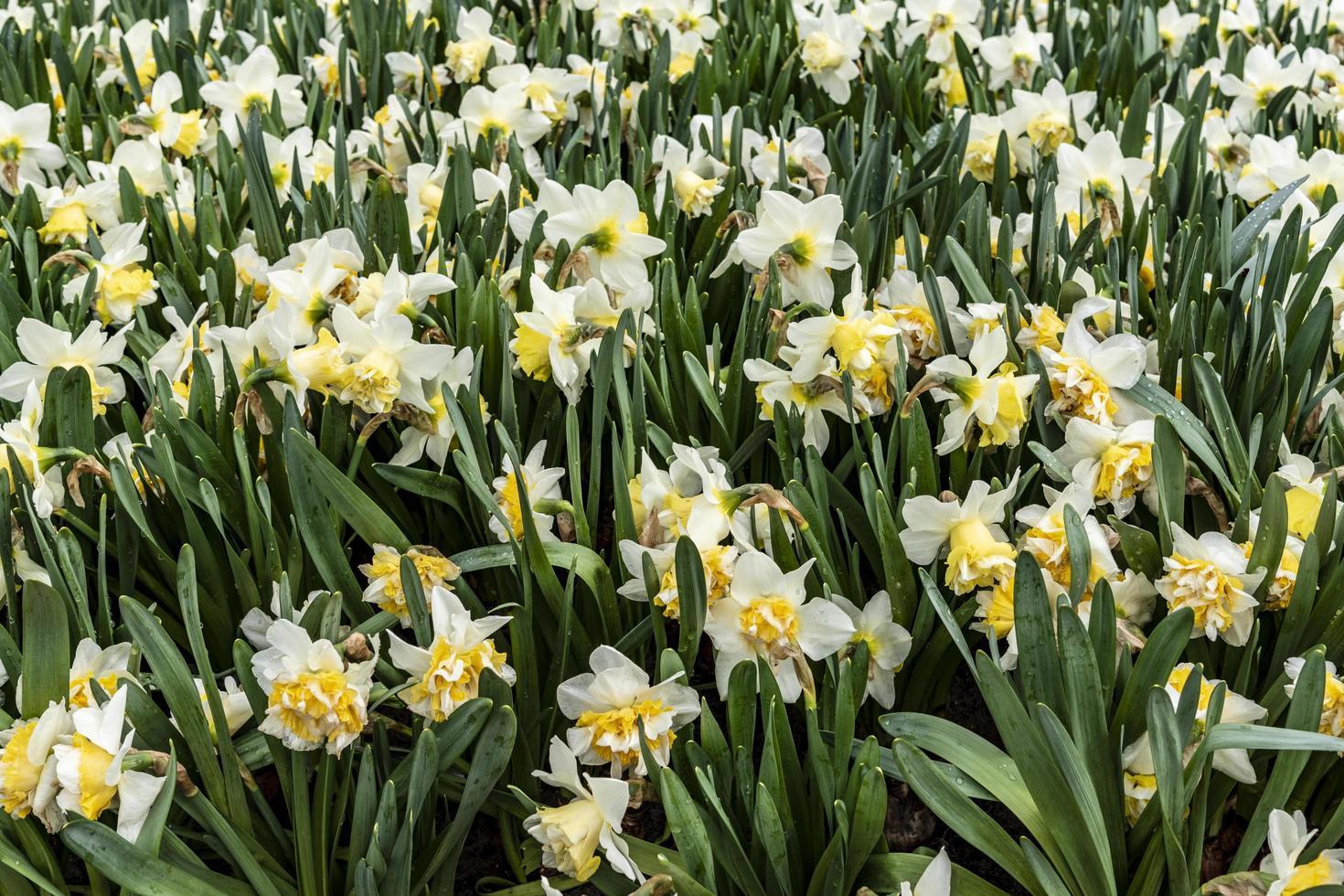 Iris blancs et jaunes en fleurs photo