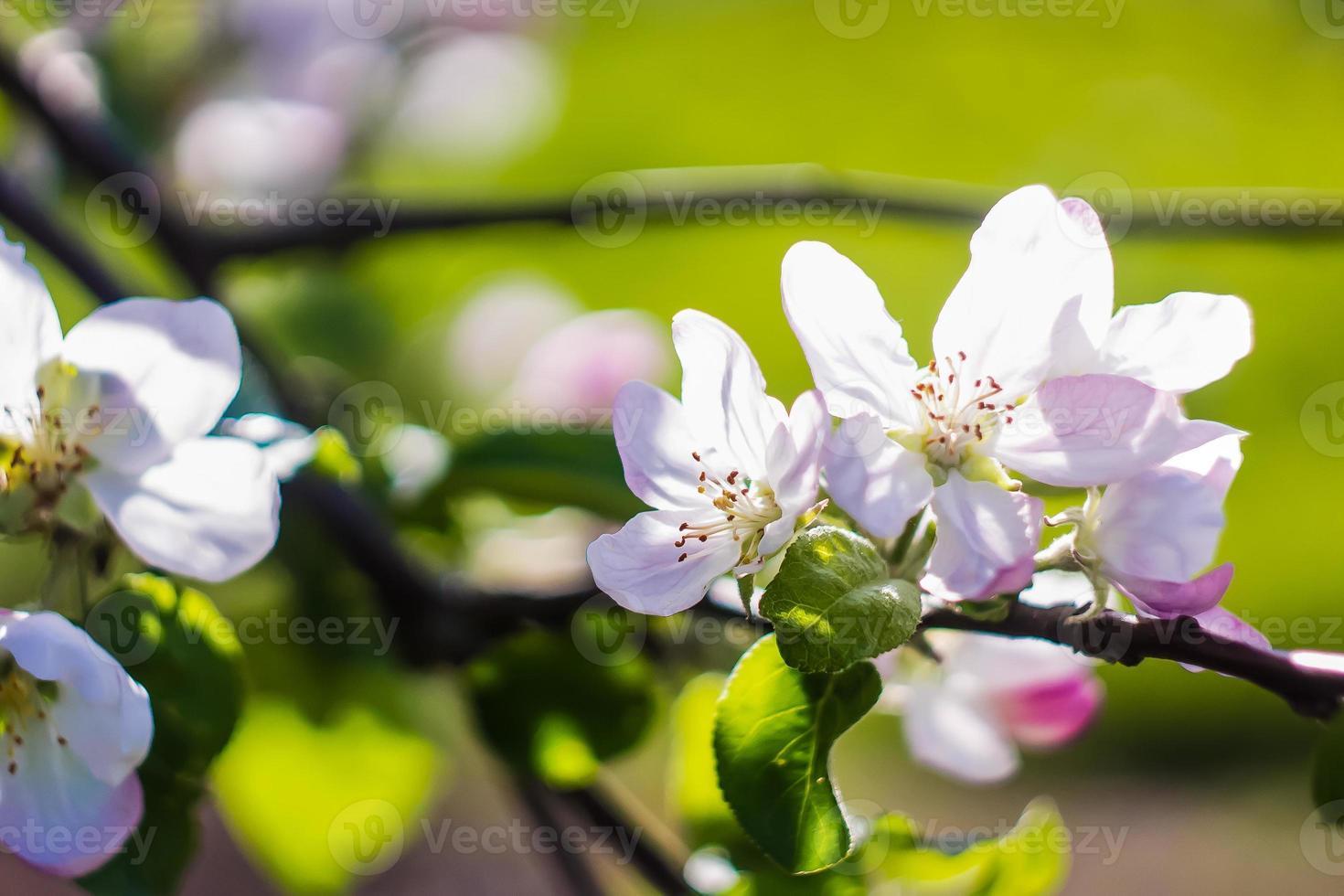 belle fleur au printemps, macro de fleurs délicates photo