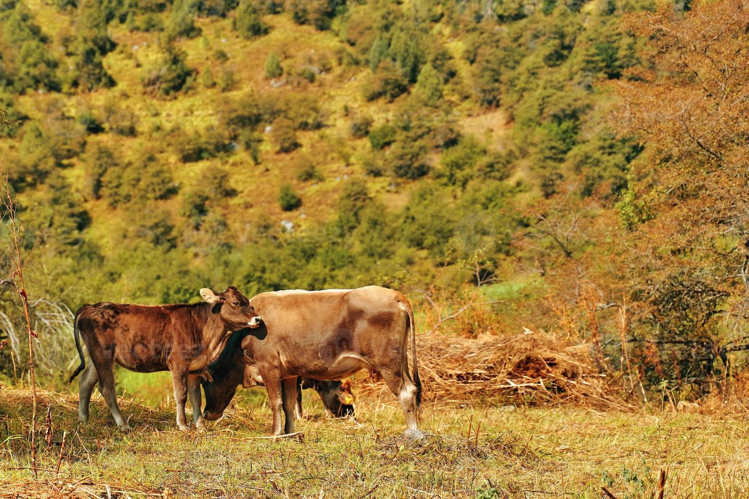 paysage de montagne d'été avec vache et veau photo