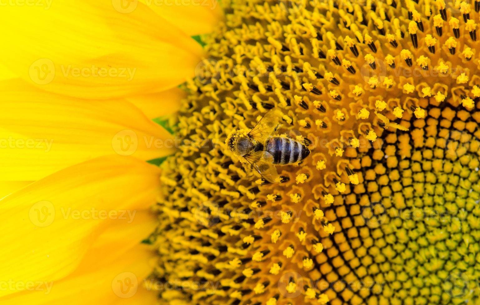 gros plan, de, a, abeille, sur, a, tournesol photo