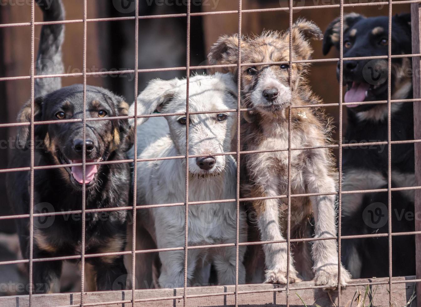 quatre chiots derrière une clôture métallique photo
