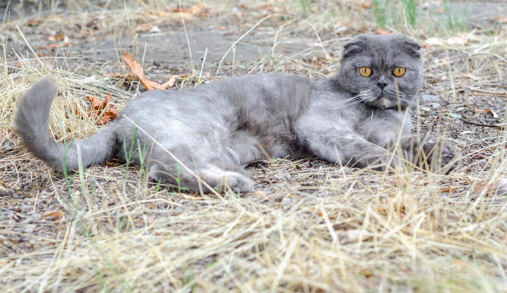 chat gris dans l'herbe photo