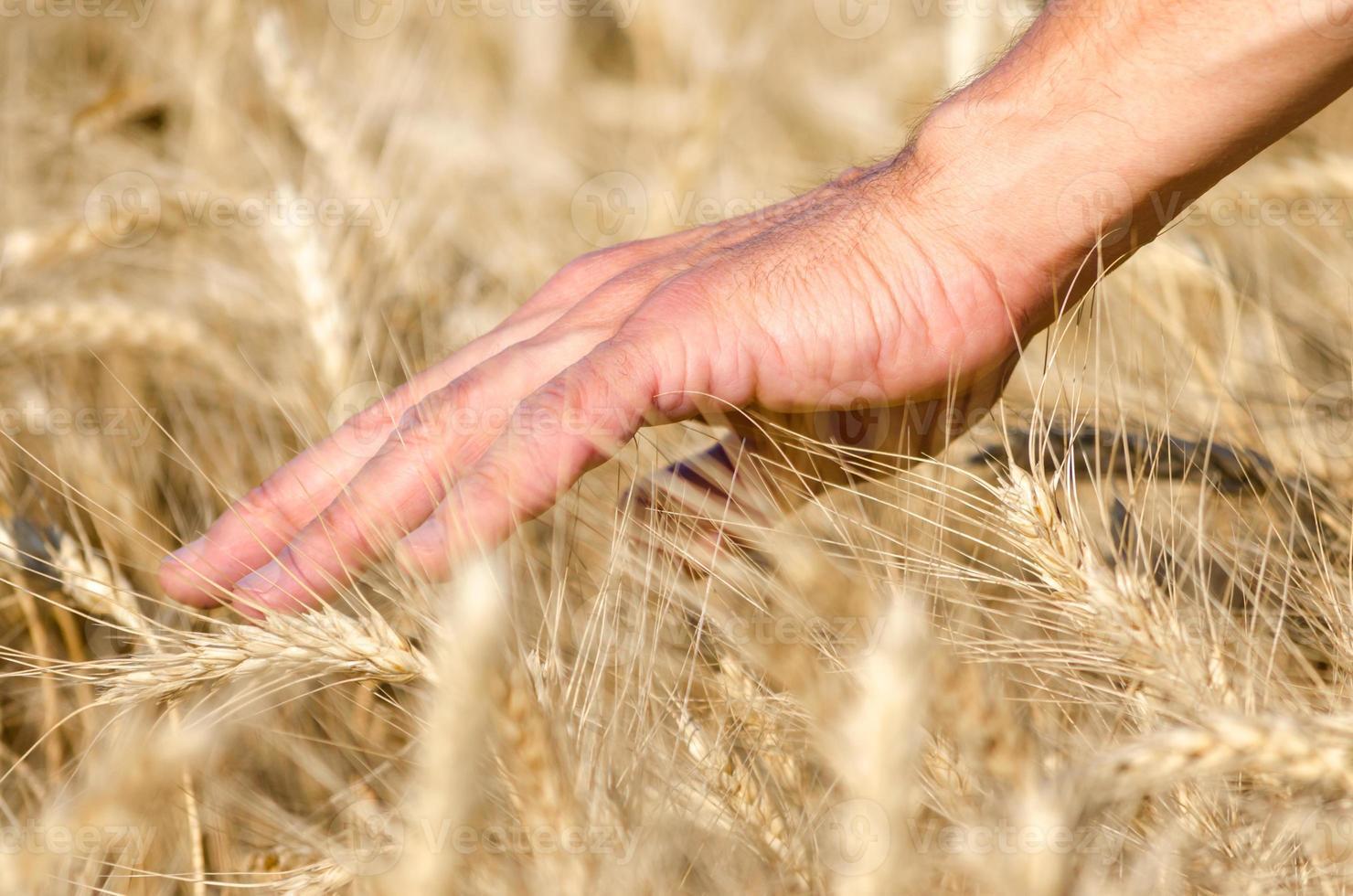 personne se brossant la main à travers le blé photo