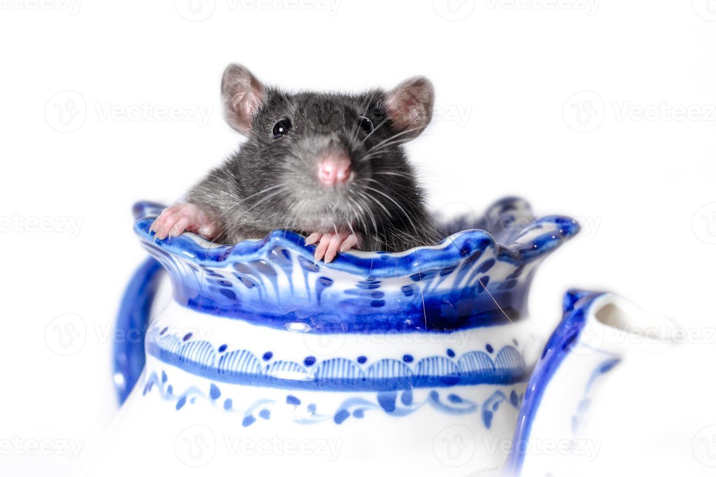 rat gris dans une théière photo
