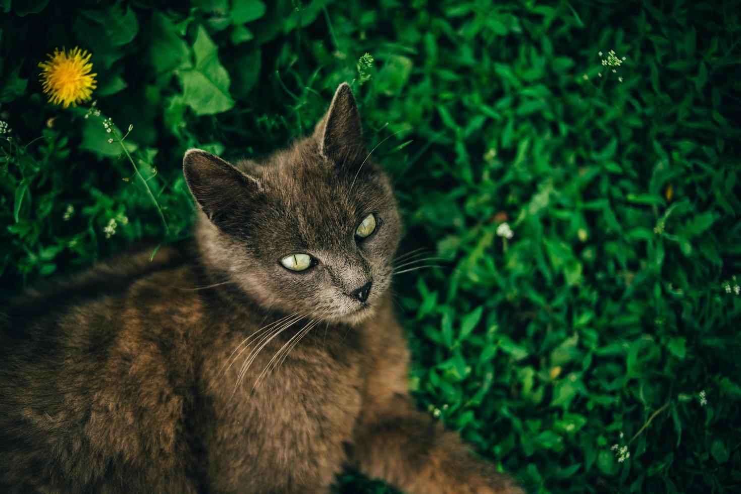 chat couché dans l'herbe photo