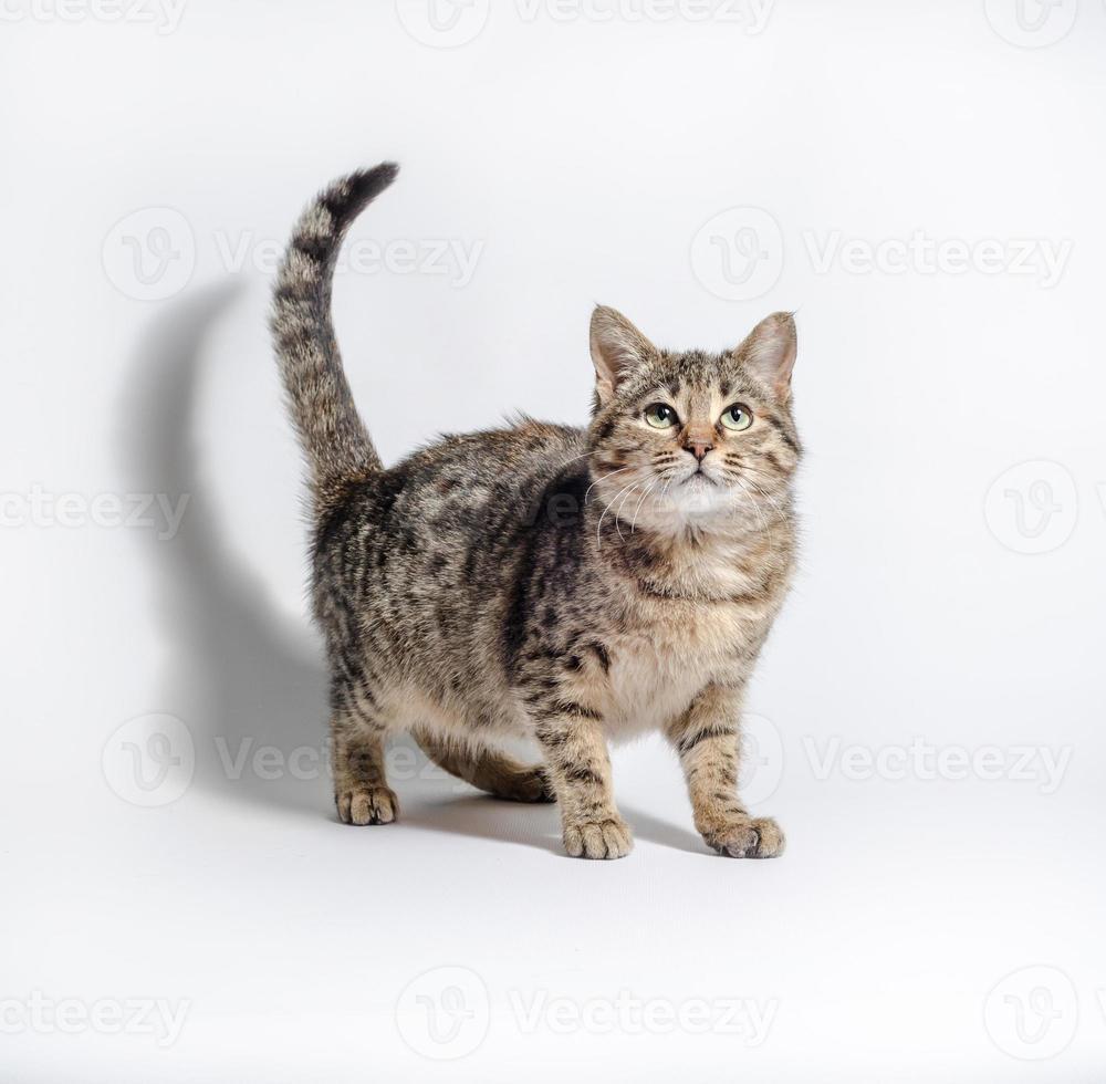 chat tigré à la recherche sur un fond blanc photo