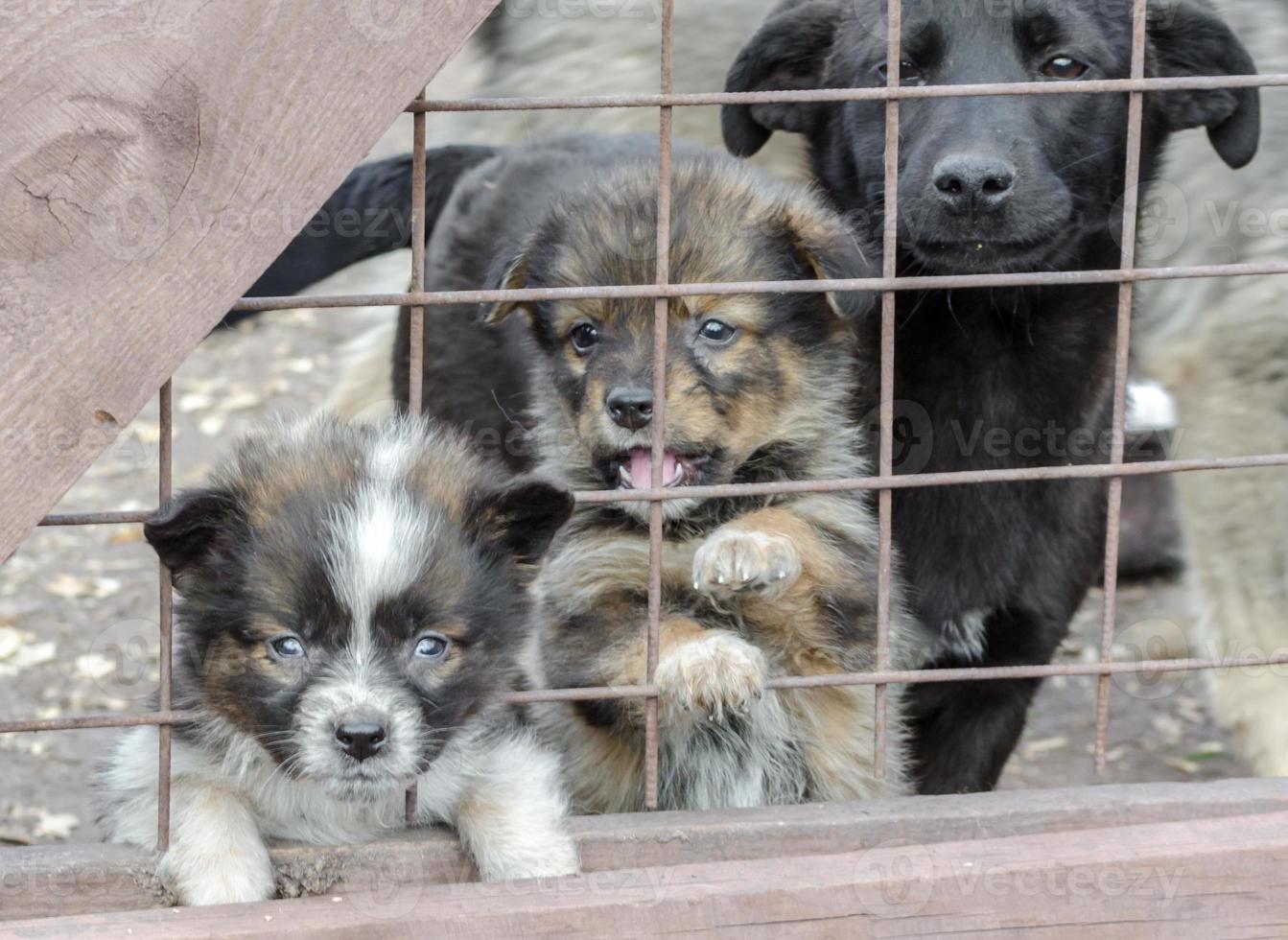 trois chiots tristes derrière une clôture photo