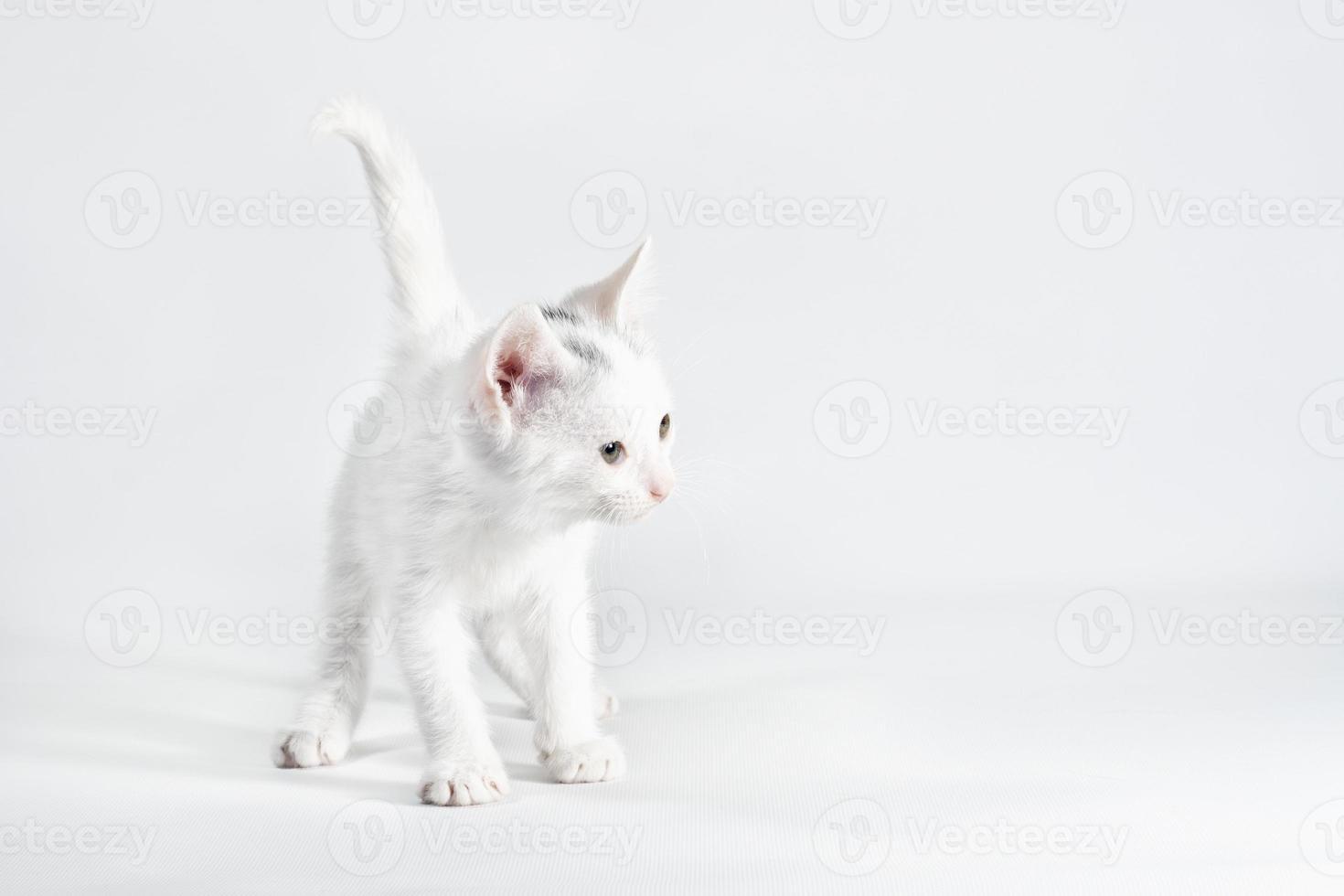chaton blanc sur fond blanc photo