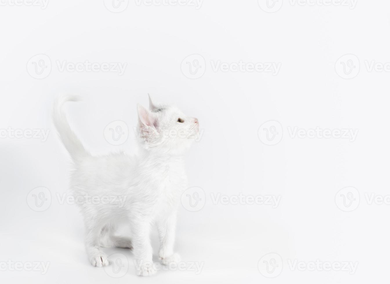 chaton blanc levant photo