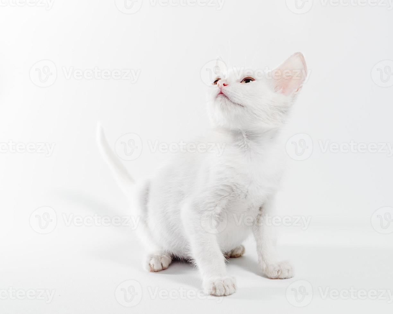 Chaton blanc regardant sur un fond blanc photo