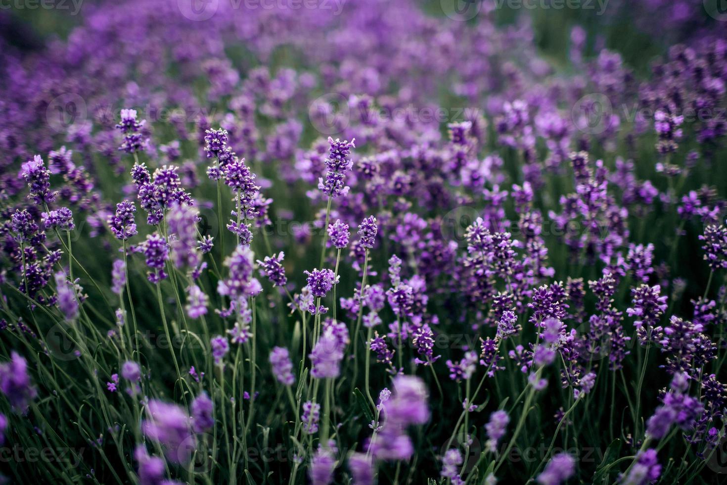 champ de lavande au soleil, provence, plateau de valensole. belle image d'un champ de lavande. champ de fleurs de lavande, image de fond naturel. très belle vue sur les champs de lavande. photo