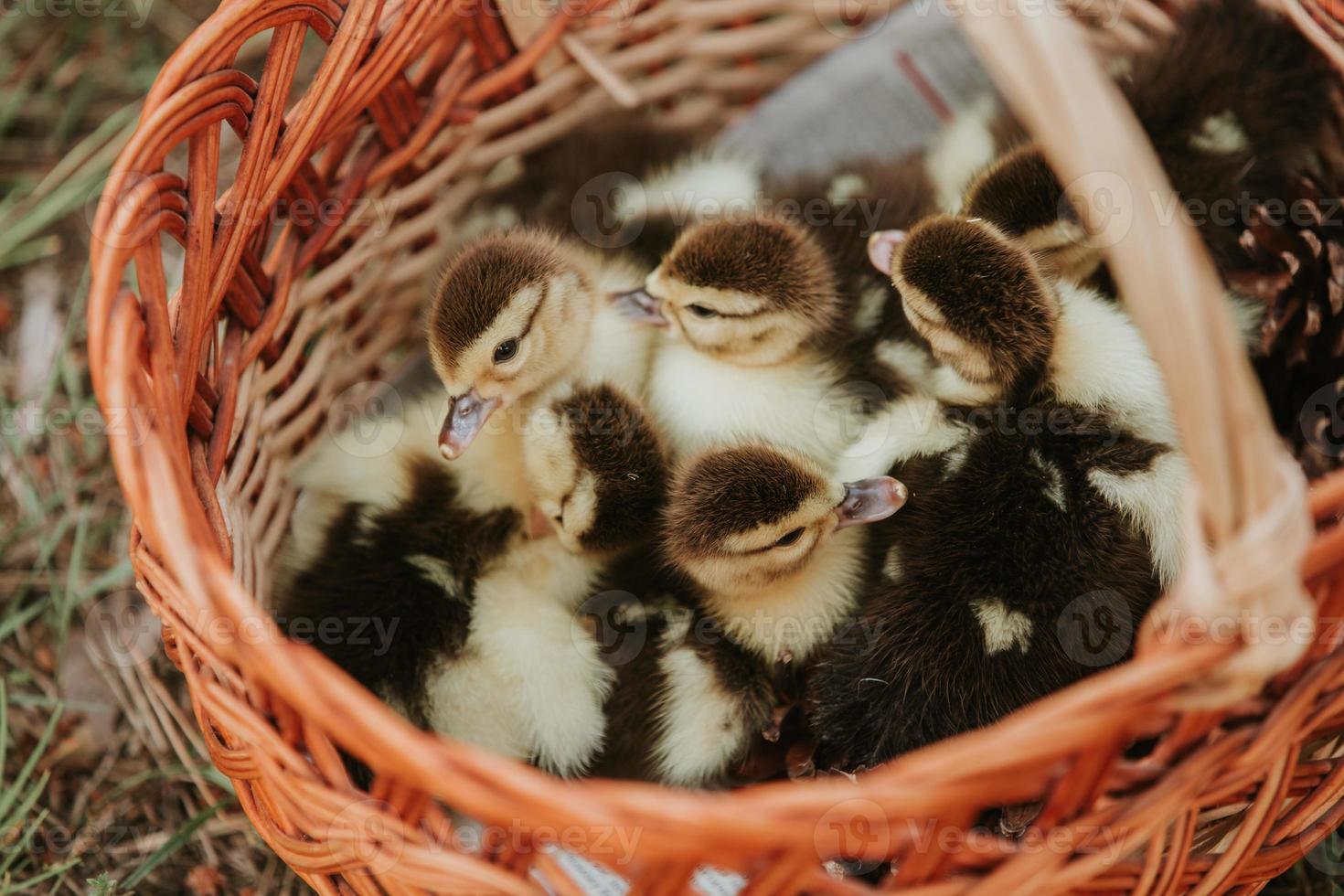 groupe de canetons dans un panier avec de la paille, des canards nouveau-nés avec des plumes noires et jaunes prêts à être vendus. petit canard dans le panier photo