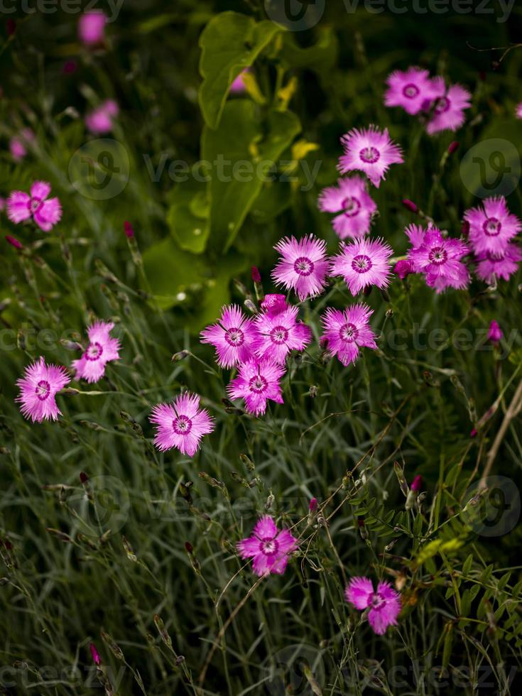 fleurs d'encre dianthus dans le champ photo