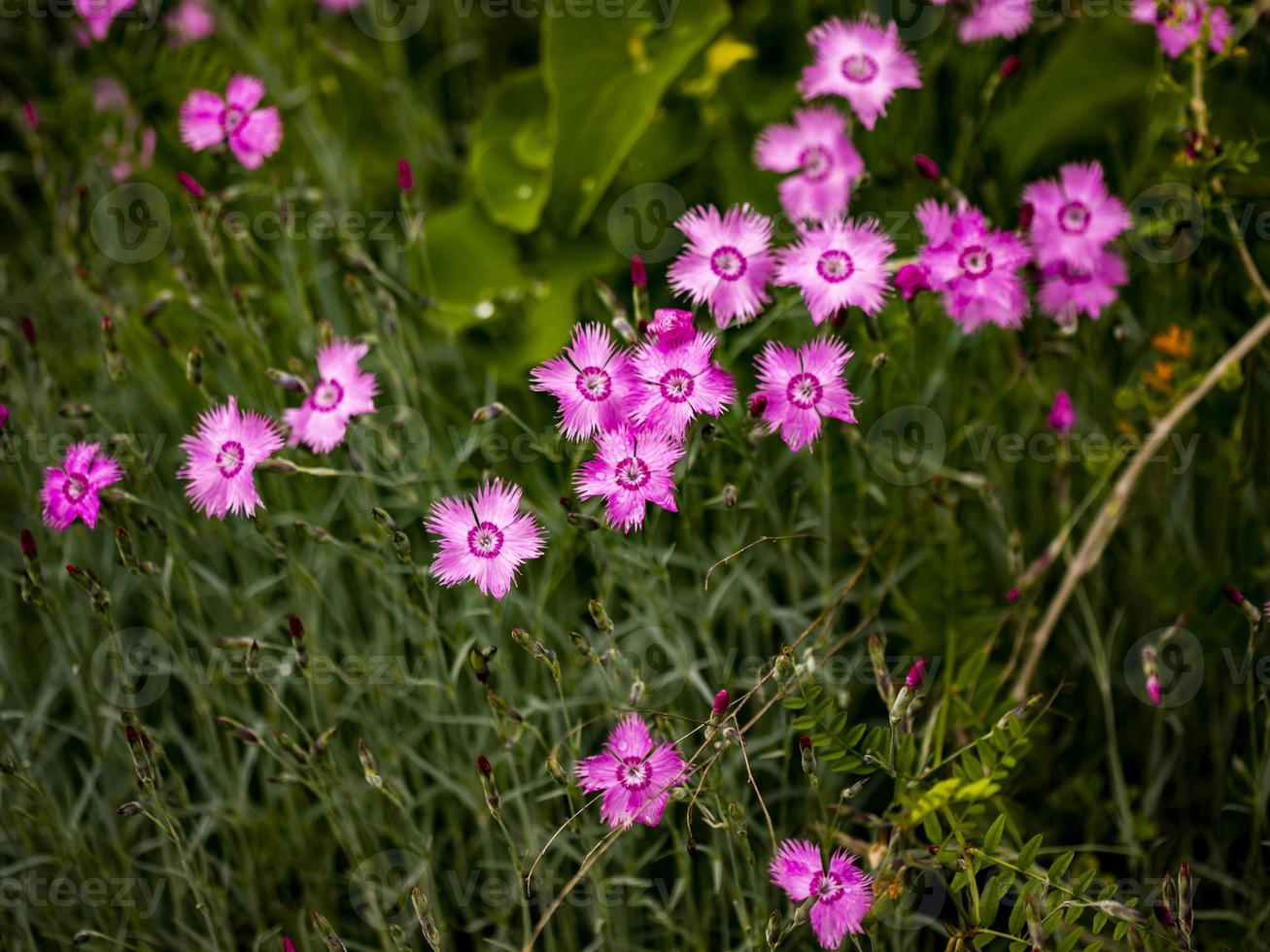 Dianthus rose fleurs sur le terrain photo