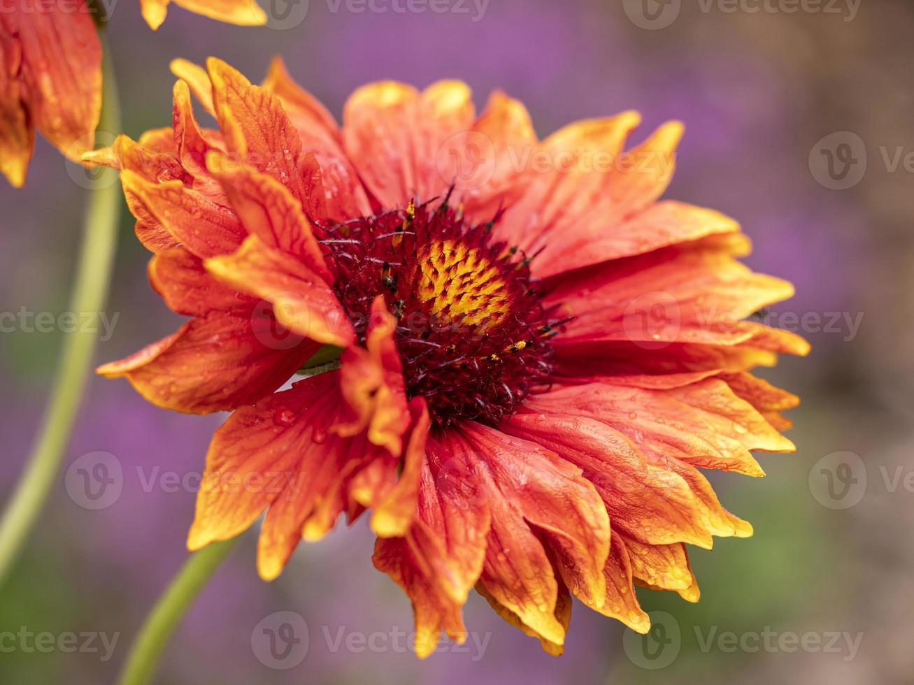gros plan, de, a, beau, grandiflora, fleur photo