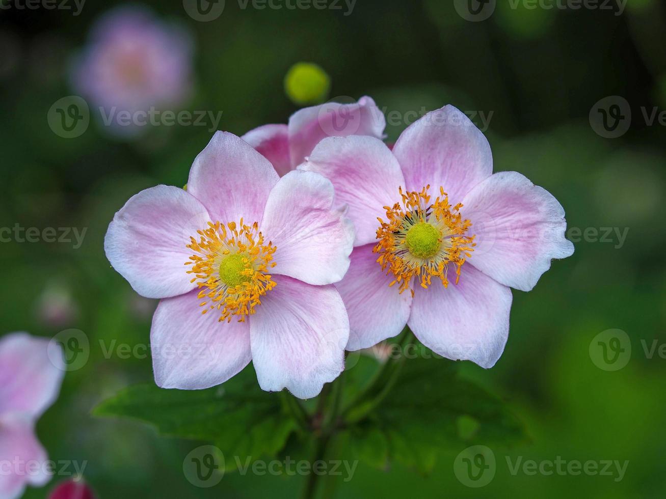 Deux petites fleurs d'anémone rose dans un jardin photo