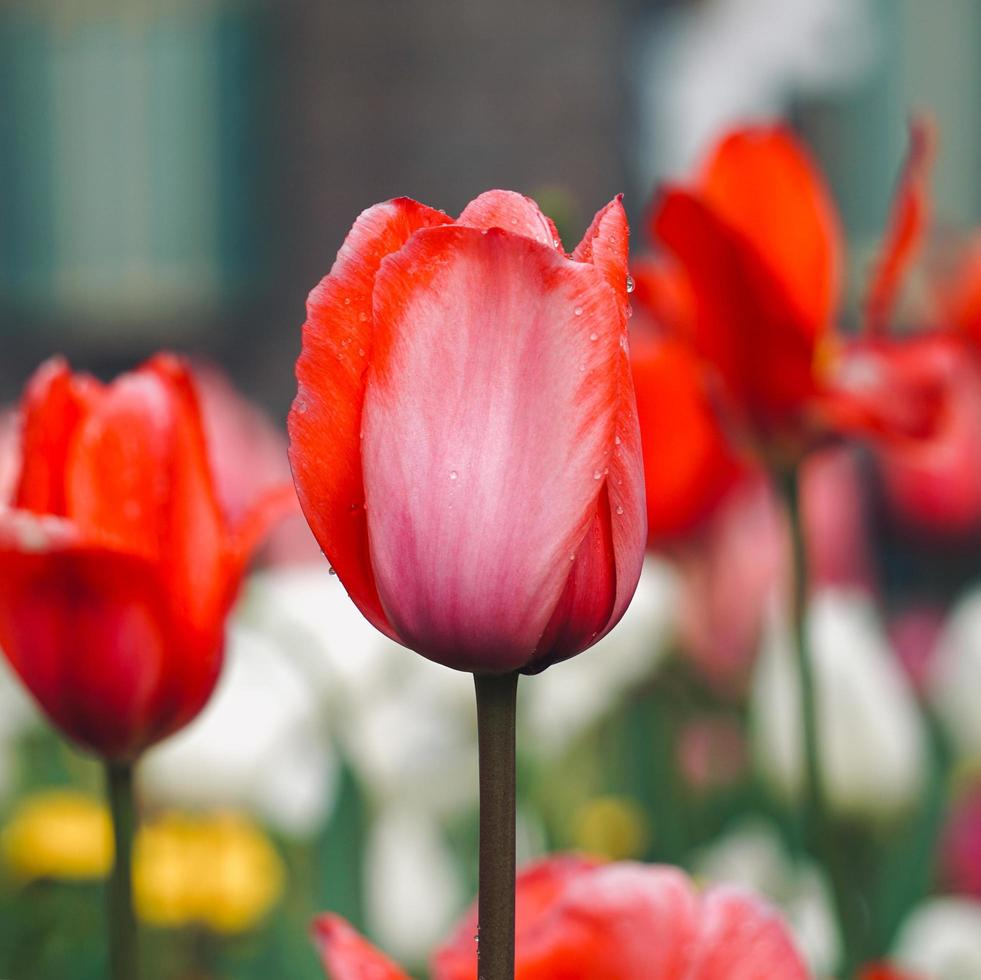 tulipes roses et rouges dans le jardin au printemps photo