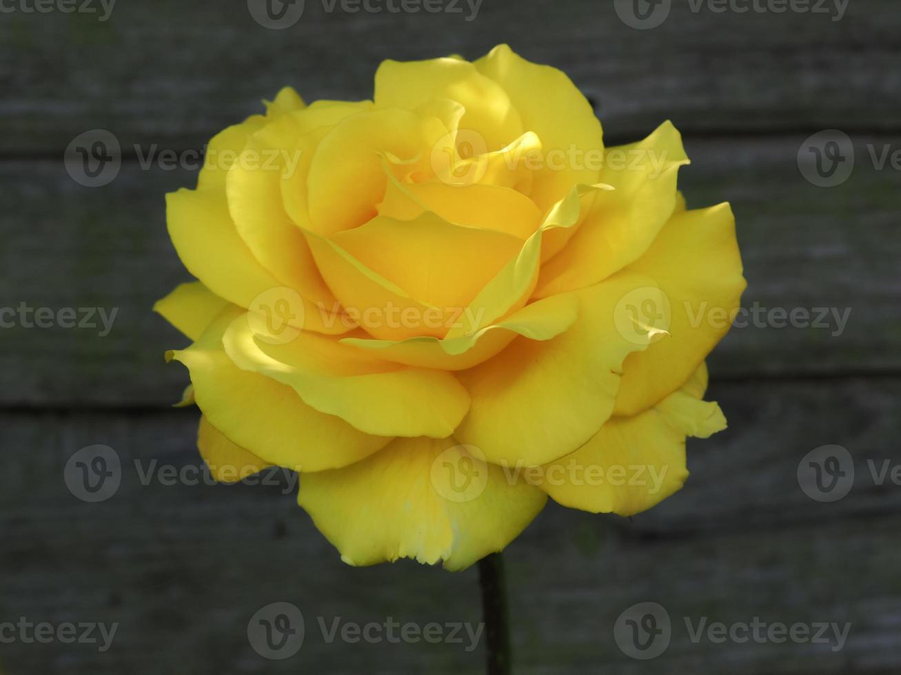 rose jaune contre une clôture en bois photo