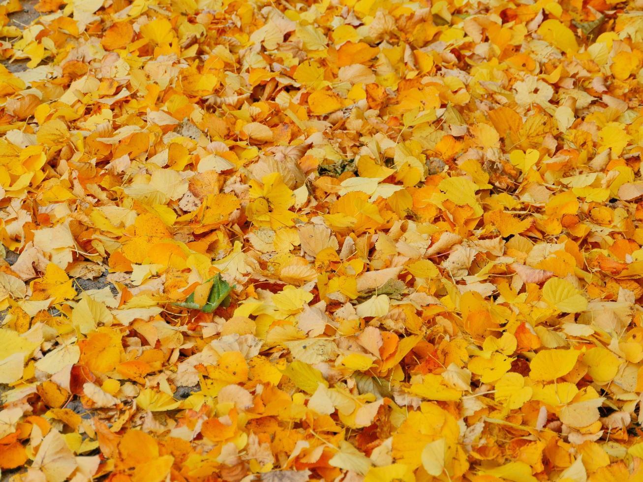 chute de feuilles jaunes, chute de feuilles d'automne, tapis de feuilles jaunes photo