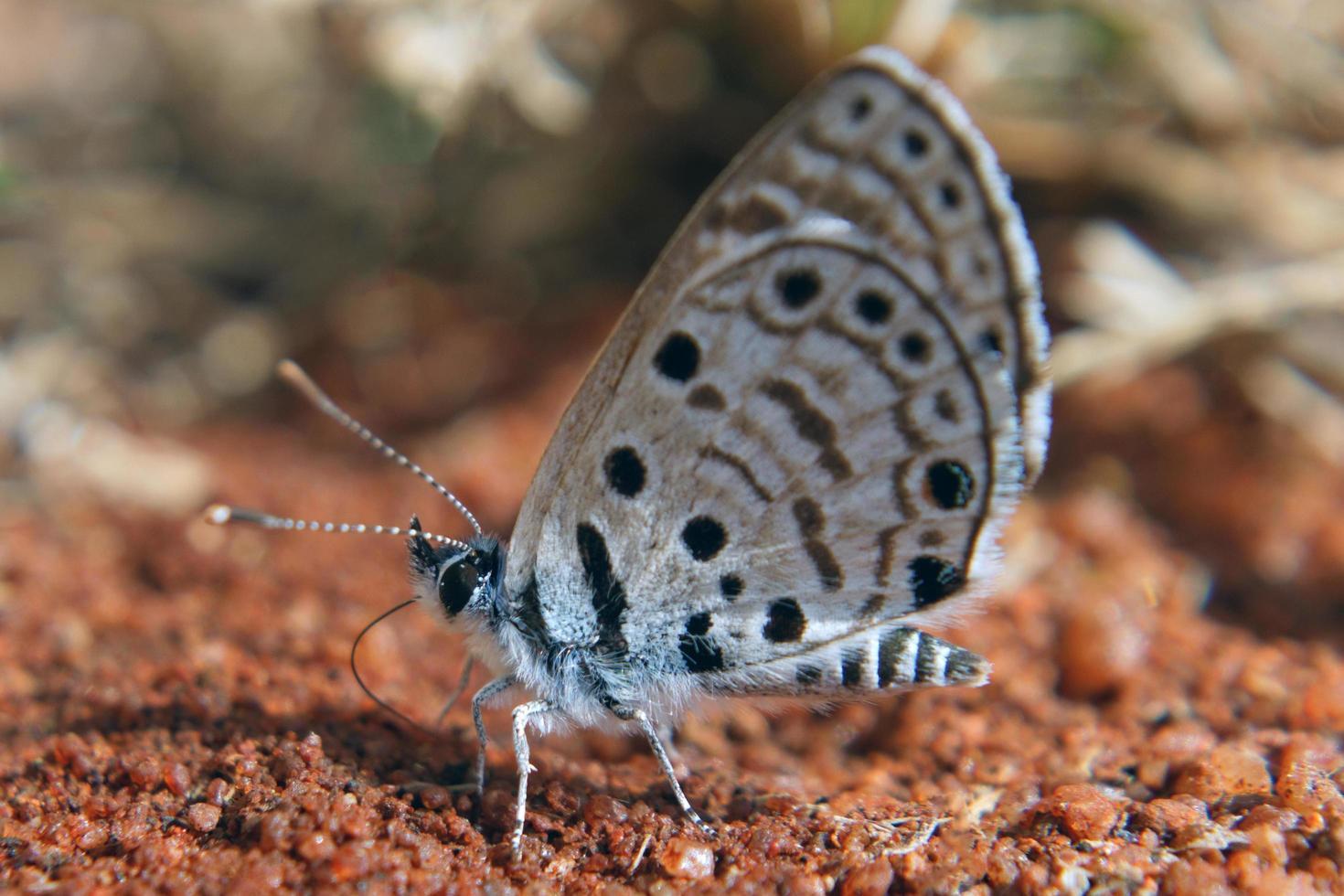 topaze babul papillon bleu photo