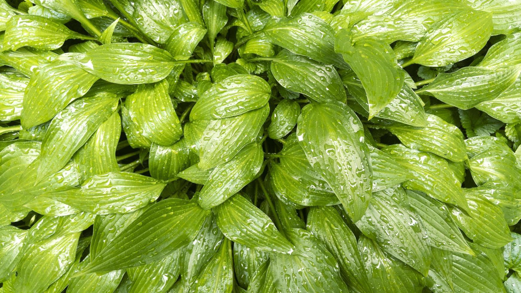 feuilles vertes hosta plante avec gouttes d'eau. motif naturel. photo de stock.