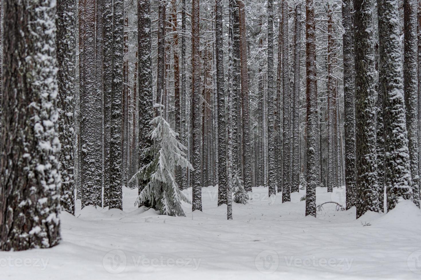 forêt d'hiver dans le nord de la suède photo