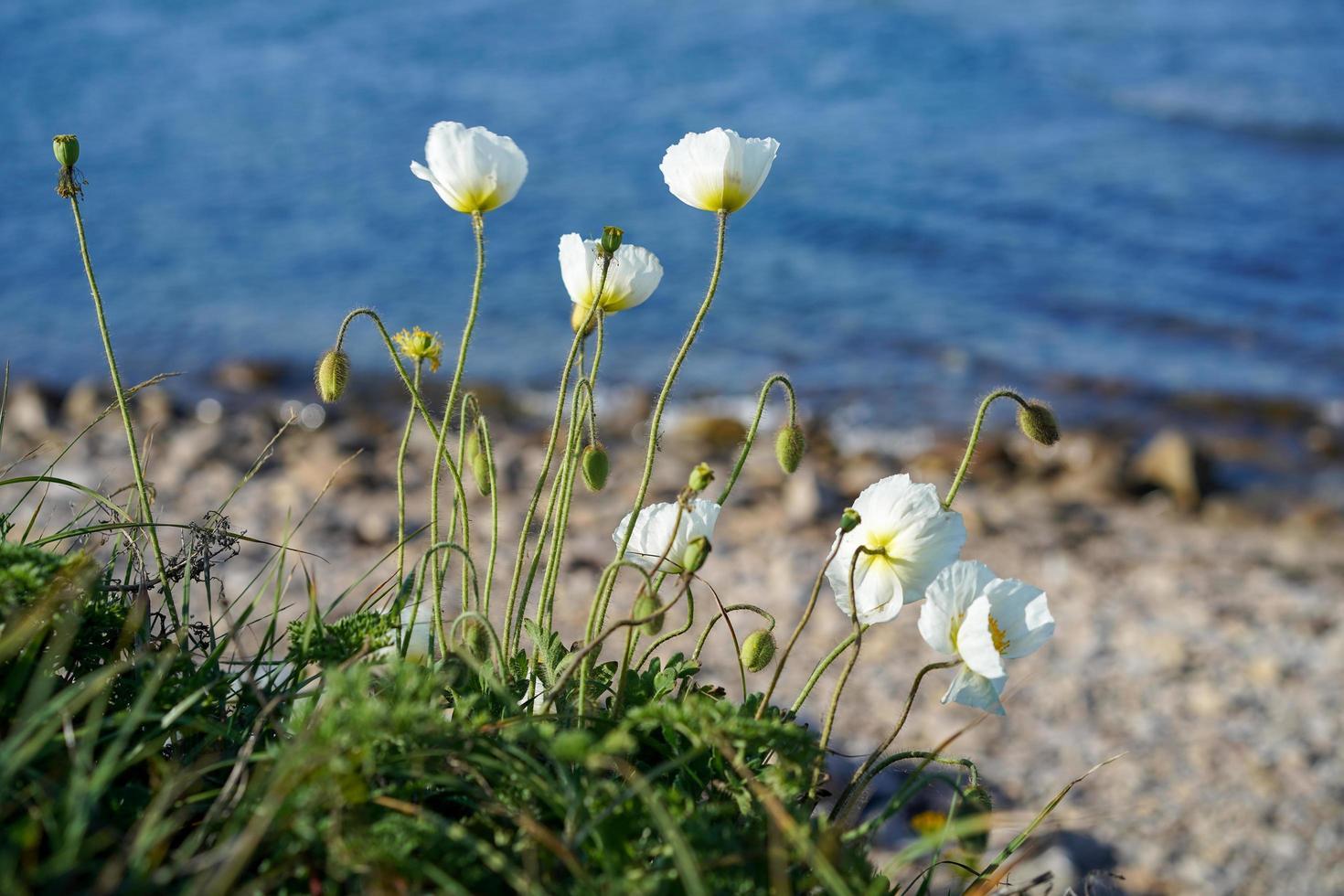 coquelicots blancs parmi les rochers et l'herbe par un plan d'eau photo