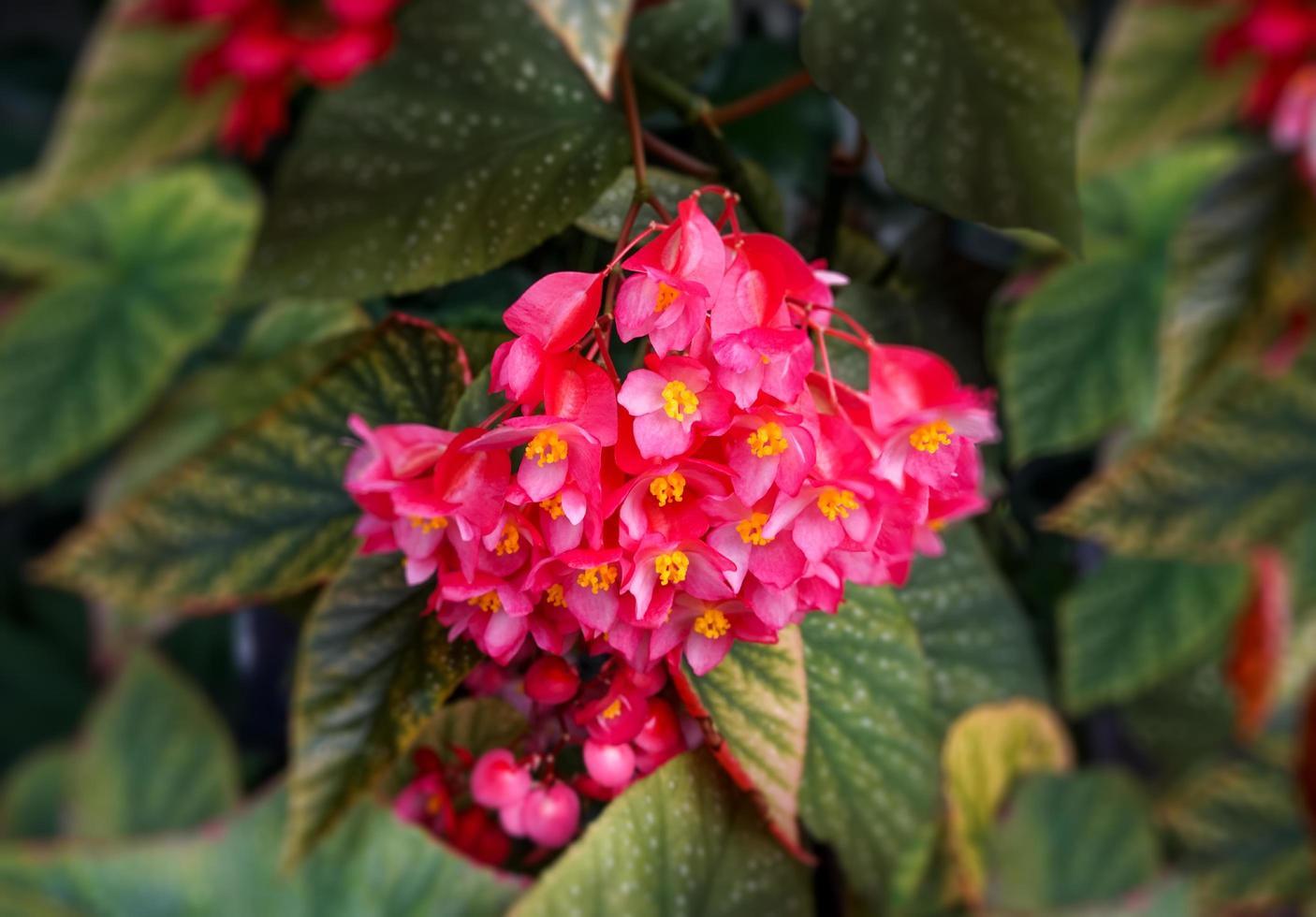 fond floral avec des bégonias de fleurs roses photo