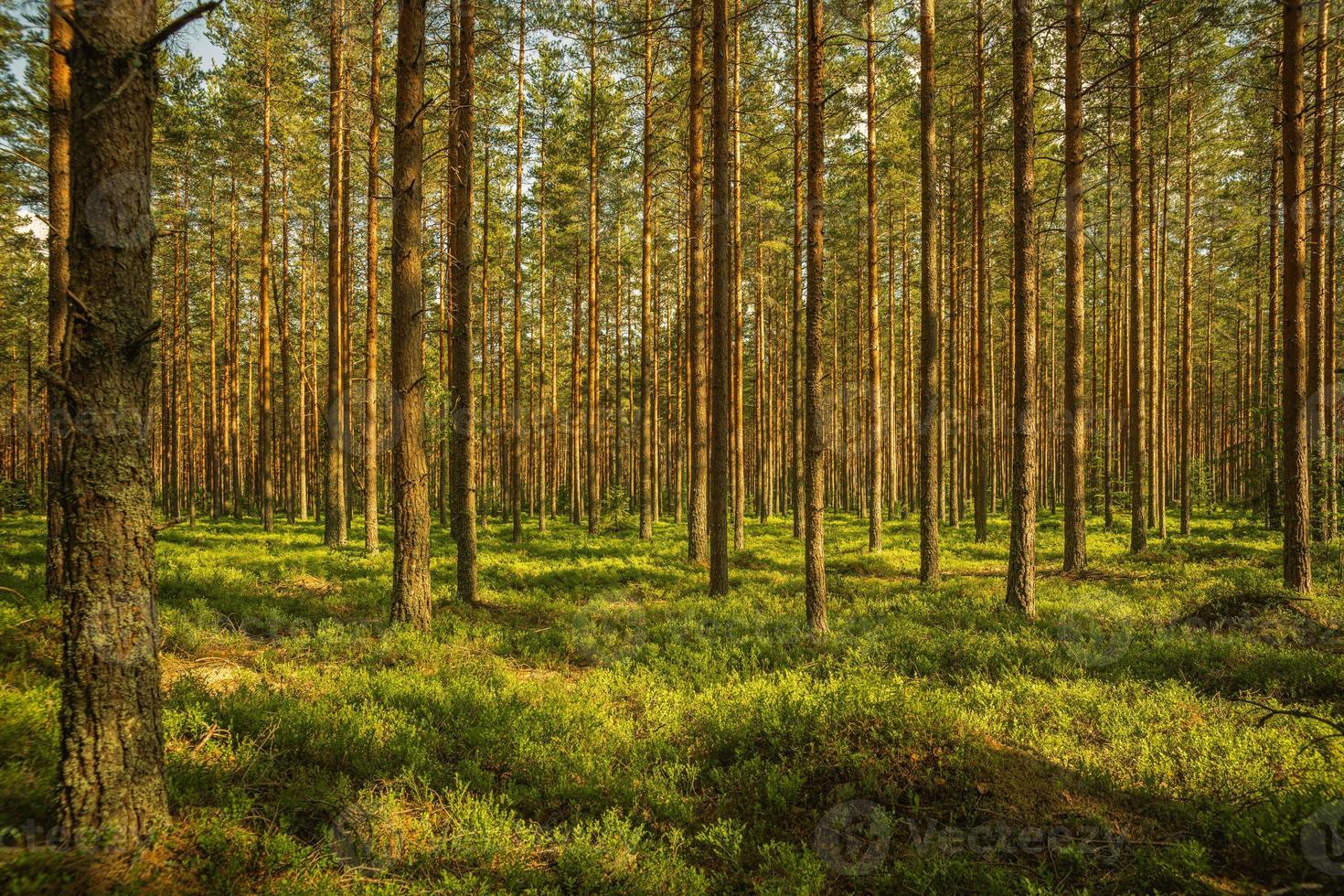 forêt de pins en été photo