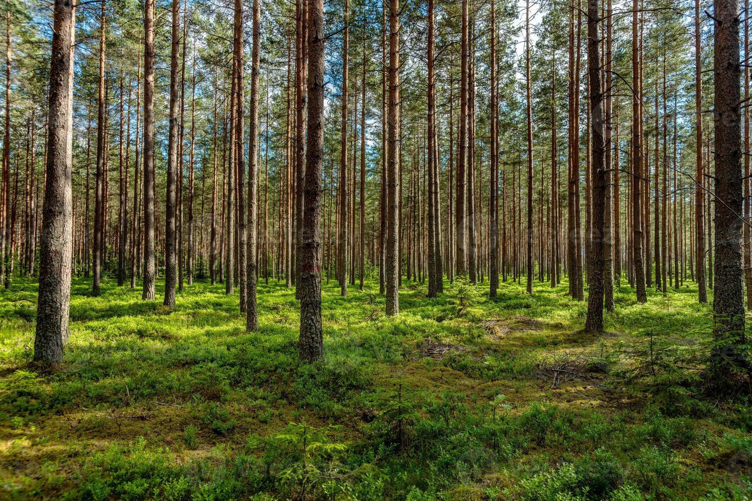 Forêt de pins verts luxuriants au soleil photo