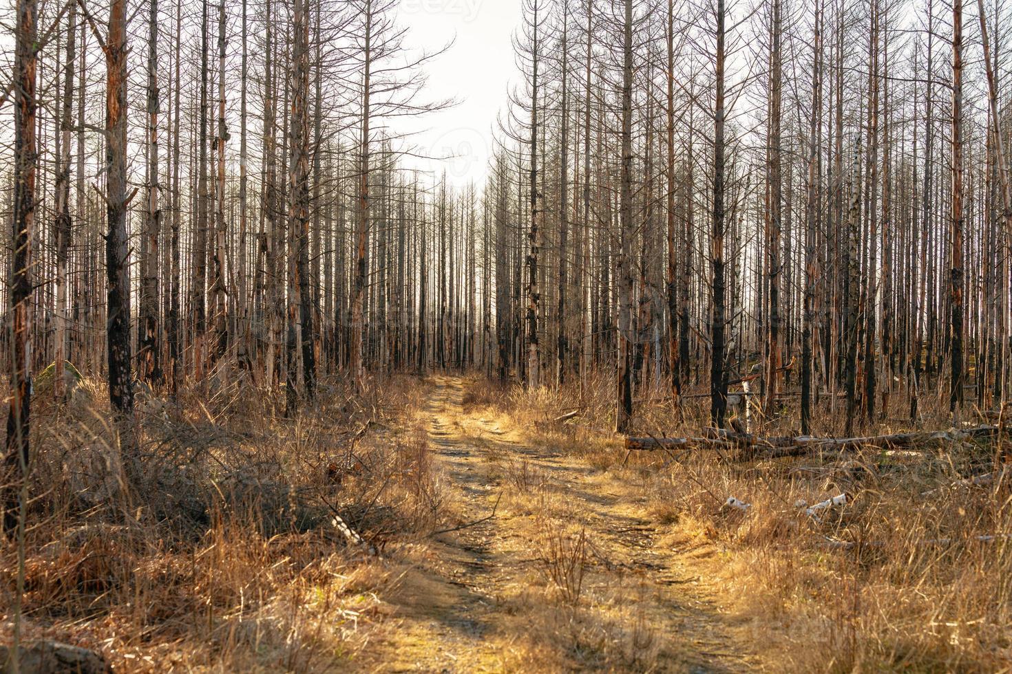 chemin de terre passant une forêt morte photo