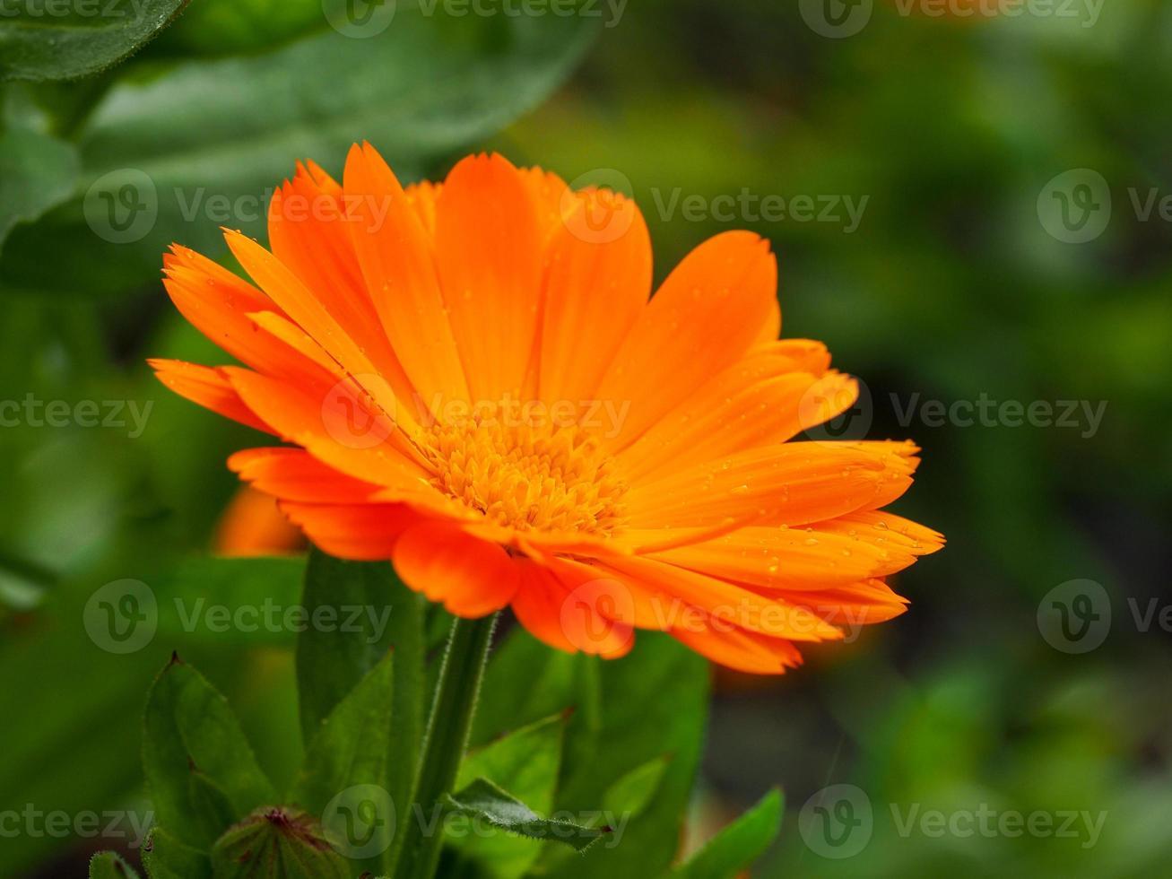 Gros plan d'une fleur de calendula de souci orange photo