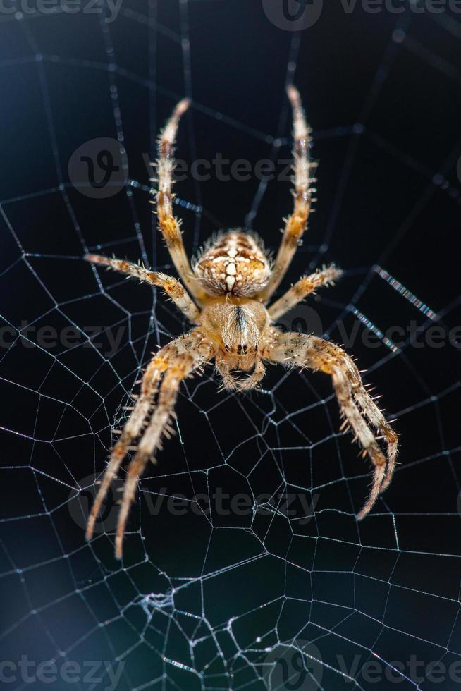 araignée de jardin sur sa toile photo